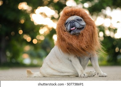 Funny face of pug dog with lion costume.