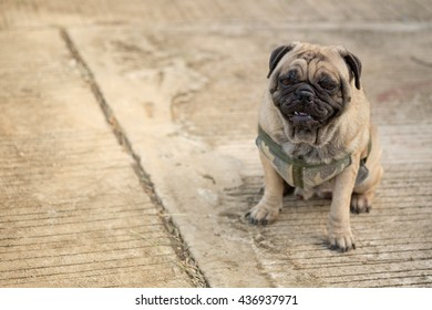 Funny face of pug dog lying on concrete road.