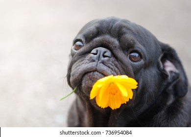 Funny face of pug dog with marigold flower.