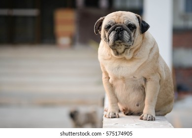 Funny face of pug dog.( Pug dog sitting on wooden chair with blurry background.)