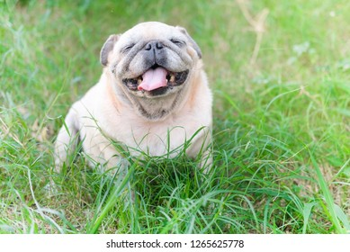 Funny face of pug dog waiting to eat dog snack.