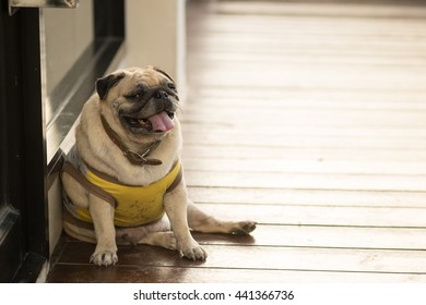 Funny face of pug dog dog waiting to eat dog snack on wooden floor.