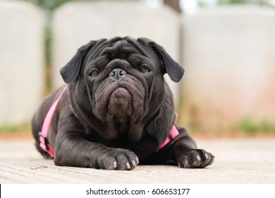 Funny face of pug dog waiting to eat dog snack on concrete road.
