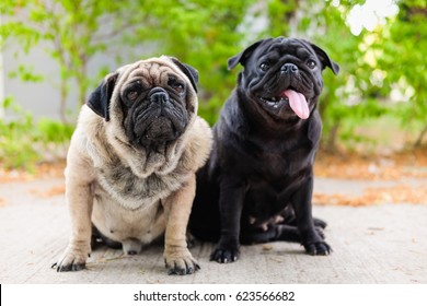 Funny face of pug dog.(Funny pug dog playing on concrete road.)