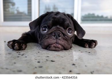 Funny face of pug dog.(Pug dog lying on marble floor.)