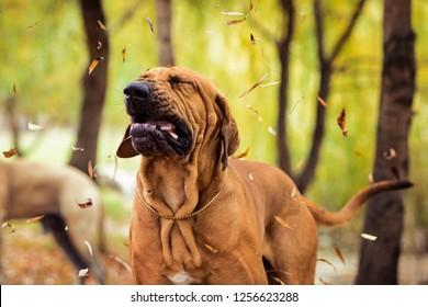 Funny face wrinkled Fila Brasileiro (Brazilian Mastiff) making silly face of distaste, sneezing, seasonal allergy concept