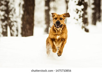 Funny face wrinkly Fila Brasileiro Dog (Brazilian Mastiff) having fun in snow, winter scene