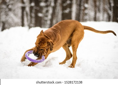 Funny face wrinkly Fila Brasileiro Dog (Brazilian Mastiff) playing with puller in snow, winter scene
