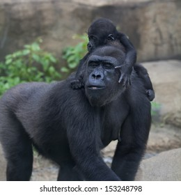 Funny family portrait of gorilla mother with her baby. Cute and cuddly monkey, the great ape. The most powerful and biggest primate of the world