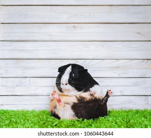 Funny fat and lazy guinea pig. Fast food concept. Glutton, diet, fitness center.