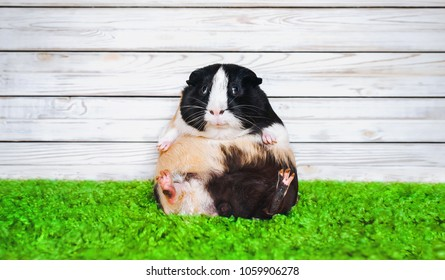 Funny fatly and lazy guinea pig. Fast food and bloating concept. Glutton.