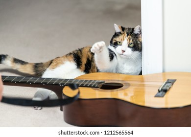 Funny female calico cat sitting, lying on carpet floor, musical instrument guitar, curious in home, house room studio, playing strings with one paw, black stripe toy
