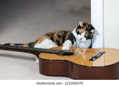 Funny female calico cat sitting, lying on carpet floor, looking at musical instrument guitar, curious in home, house room studio, playing strings with one paw