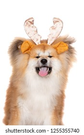 funny fluffy akita dog posing in antlers on his head