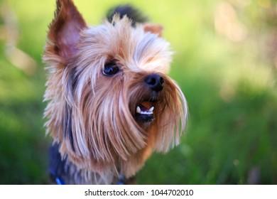 Funny fluffy dog yorkshire terrier york