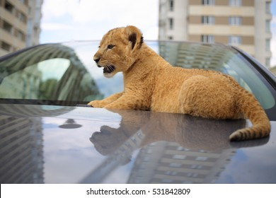 Funny fluffy lion calf sit on car near front window and looks around