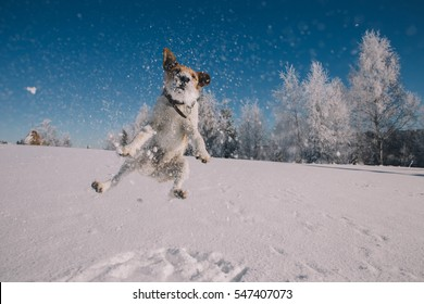 Funny fox terrier enjoying snow.