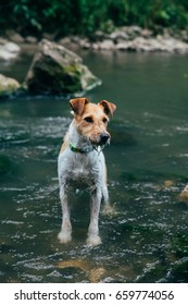 Funny fox terrier playing in a river
