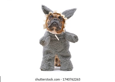 Funny French Bulldog dog dressed up as Big Bad Wolf from fairytale Little Red Riding Hood with furry full body costume with fake arms and nightcap on white background