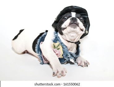 Funny French Bulldog puppy in a biker chick outfit with a silly look on her face.