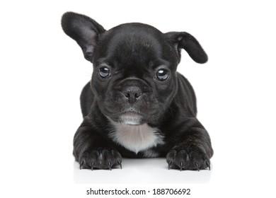 Funny French bulldog puppy on white background
