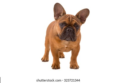Funny French Bulldog puppy posing isolated over a white background