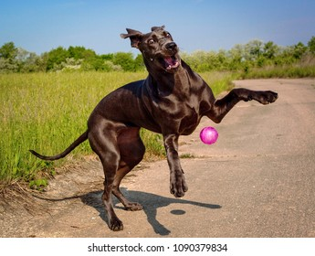A funny and gawky great Dane puppy leaps in a gangly, funny way for a ball tossed to it