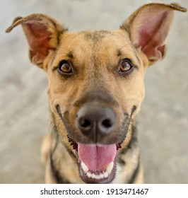 A Funny German Shepard Dog With His Mouth Wide Open is Looking Excited and Happy