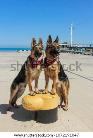 Funny German Shepherd Glasses Dogs Have Stock Photo Edit Now