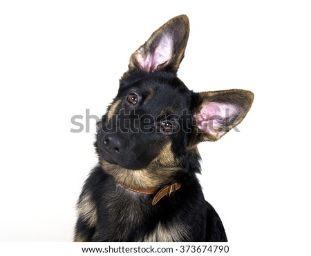 Funny German shepherd puppy with long ears and head tilted (isolated on white)