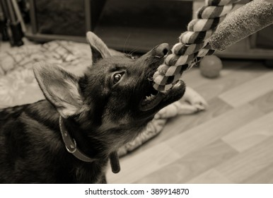 Funny German shepherd puppy pulling a tug toy (in sepia, retro style, with focus on the eyes)