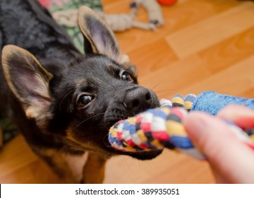 Funny German shepherd puppy pulling a tug toy (selective focus on the nose)