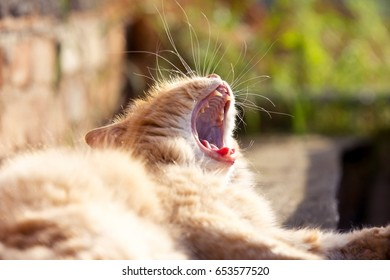 Funny ginger cat laughs on the garden.