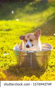 funny ginger Corgi dog puppy sitting in a soapy suds trough outside in summer warm Sunny garden