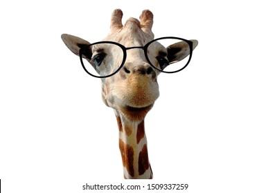 funny giraffe with big glasses