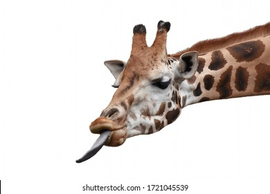 Funny giraffe head with long tongue isolated on white background.