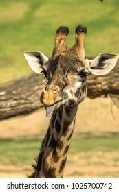 Funny Giraffe Photobomb