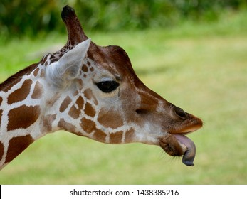 Funny giraffe sticking out tongue.