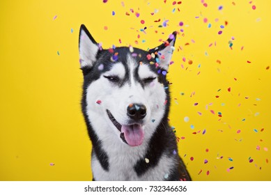 Funny glad dog breed Siberian husky with tongue on a yellow background under a hail of confetti, the concept of dog emotions, humor, sarcasm
