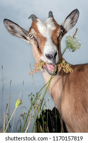 Funny goat smiling and chewing the flower in the field
