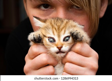 Funny Golden British kitten in the hands of a woman