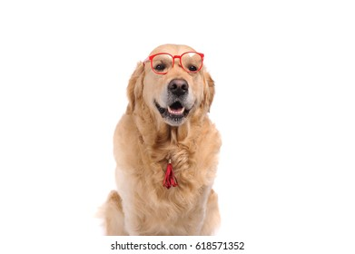 Funny golden labrador retriever dog looking in red glasses. Studio shot. Portrait of a cute pet.
