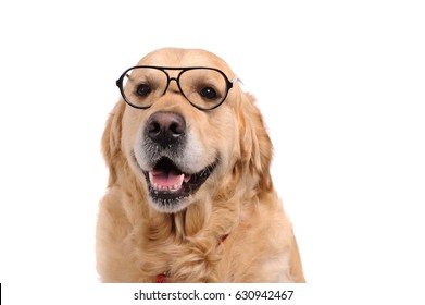 Funny golden labrador retriever dog looking in black glasses. Studio shot. Portrait of a cute pet.