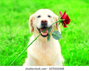 Funny Golden Retriever dog is holding a red flower in the teeth on the grass on a summer day
