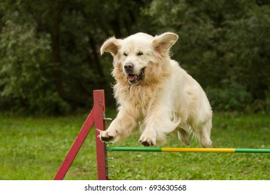 funny Golden retriever dog jumping agility outdoor in summer