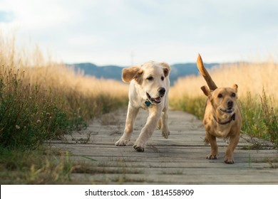 Funny golden retriever puppy and small stray dog playing and running towards the camera on a wooden walkway in a landscape with mountains in the background surrounded by grass during the sunset