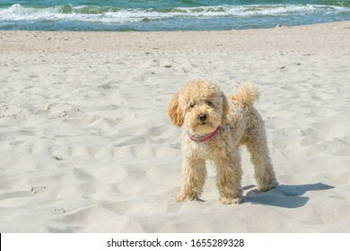 Funny Goldendoodle dog looking straight at camera on sandy beach near wavy sea. Beige colored doggy on similar beige color sandy seacoast. Goldendoodles are canine mix of Golden Retriever and Poodle.