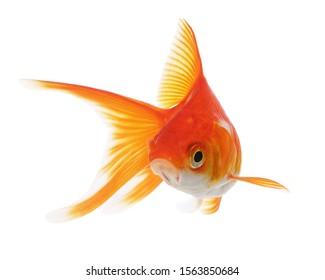 Funny Goldfish Isolated on White Background