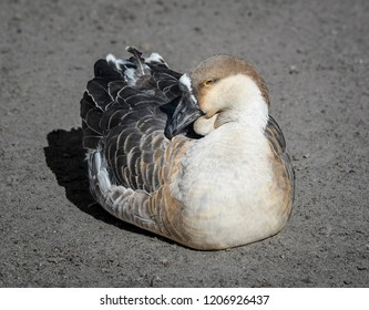 Funny goose bird sitting in the sun on a farm. Farm animals. Goose are waterbird.