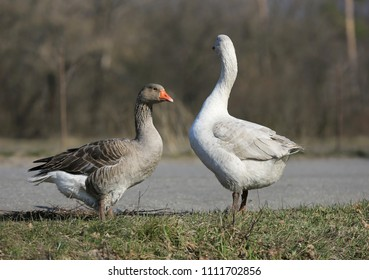 funny gooses on meadow in rural farm